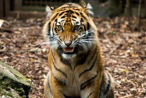 Sumatran Tiger by Aperture-Man
