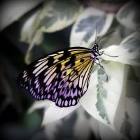 Butterfly 1 by PascalsPhotography