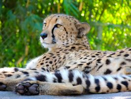 Male Cheetah by amorphousdebris