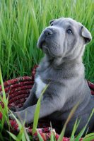 Shar Pei Puppy by LauraWixson