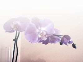 Orchid by Gia9