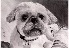 Shih Tzu by Jon-Wyatt