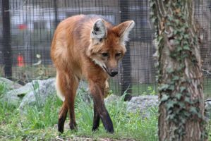 Maned Wolf 15 by FearTheLiving27