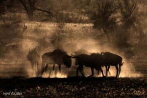 Blue Wildebeest Dust Dance by Kbulder