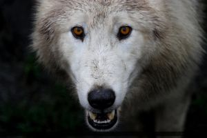 Arctic Wolf 12 by Canisography