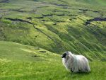 sheep in Sligo by Patolino