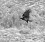Crow_4247 by filmwaster