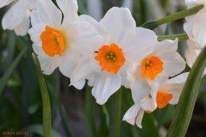 Narcissus01 by osam-devet