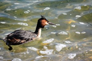 Great Crested Grebe by pduffill