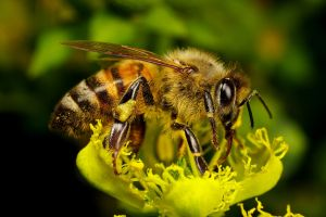 Honeybee on Frankenflower by dalantech