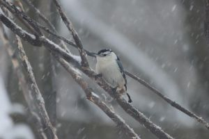 Winter Nuthatch by Laur720