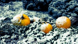 Pumpkins on snow by Koljan
