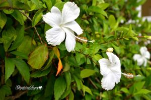 Hibiscus in White by gigi50