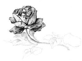Rose, original pencil drawing by Teigerknien