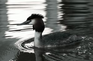 Grebe in the spot light by bart2012