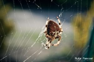 Spider by RutePascoal