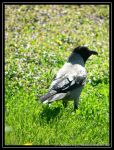 Crow on the green by TheBobson