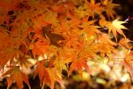 Orange leaves by swandundee