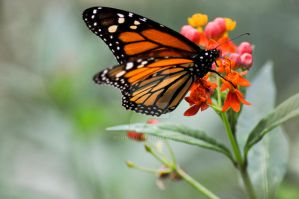 Butterfly by Klunder