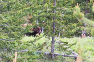Grizzly Bear by OrganBoy