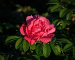 Rose by aaron5153