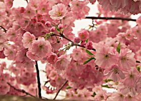 Pink cherry blossom by Pandannabelle