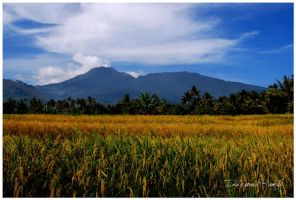 paddy field by indryana
