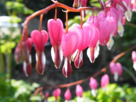 Bleeding Heart Drops by AkraruPhotography