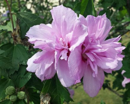 The Rose of Sharon by EpicFarms