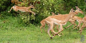 Impala Catchup by AfricanObserver