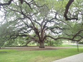 Century Tree at Texas A+M University by fearnone