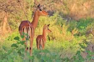 Impala Mom and Baby - Instinct of Love by LivingWild