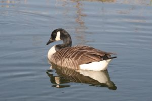 Goose on the canal by Melee-pic