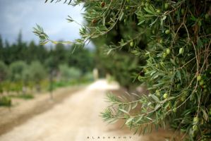 Olive Trees by alahay