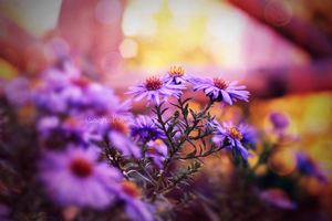 violet asters by Isagrafie