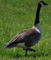 Geese 2 by Noble-Kenshi