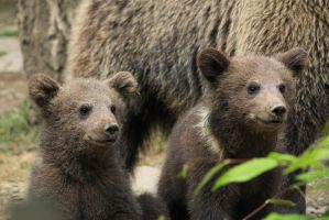 Bear cubs 8 by Linay-stock