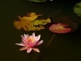 Water Lily by stenialo