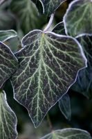Frosted Ivy by Tuffers251