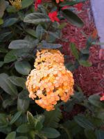 Orange Ixora by EtheriumProject