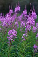 Fireweed by Thomas-Koidhis