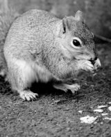 squirrel by rosscaughers