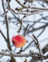 Frozen apple by juhku