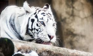 White Tigress II by OrangeRoom