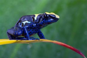 Dendrobate tinctorius by AngiWallace