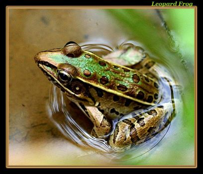 Leopard Frog by boron