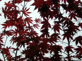 Stock Texture - red leaves II by rockgem