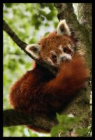 Red Panda 02 by Alannah-Hawker