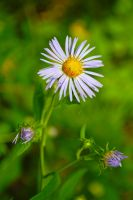 Aster by LucieG-Stock