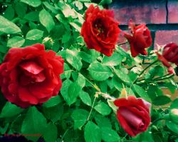 Bloody red roses by janemk